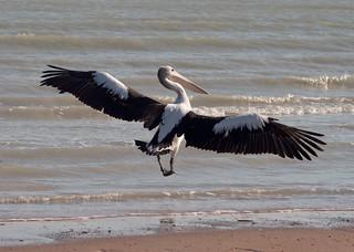 Broome, Roebuck Bay, Pelican