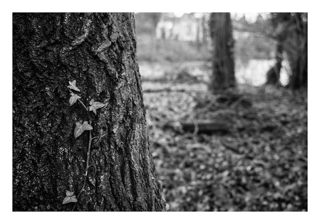 FILM - Ivy on a tree-trunk