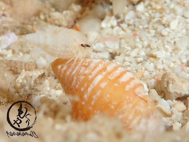 貝殻の上にヤドカリさん