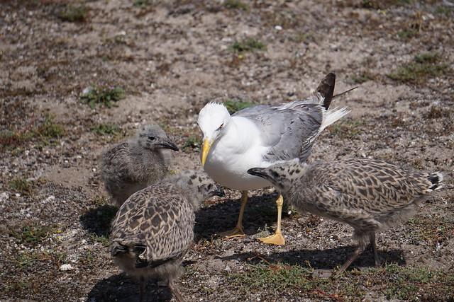 Sálvora gulls