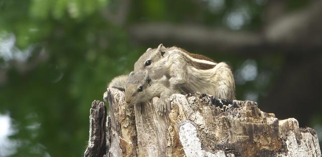 _DSC3805. Palm Squirrels