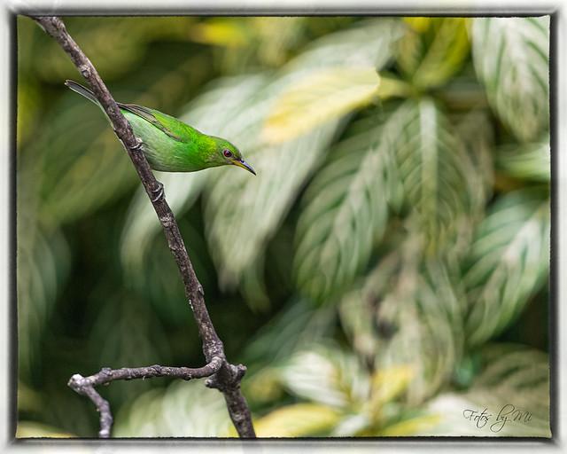 (Female) The Green Honeycreeper (Chlorophanes spiza)_FBM2133