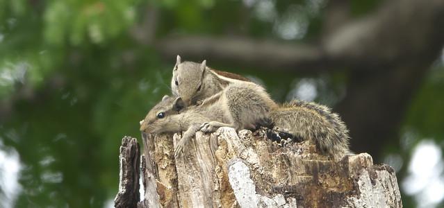 _DSC3823. Palm Squirrels