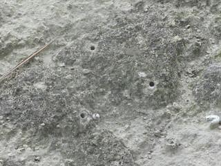 Tiger beetle larval burrows in ash deposit