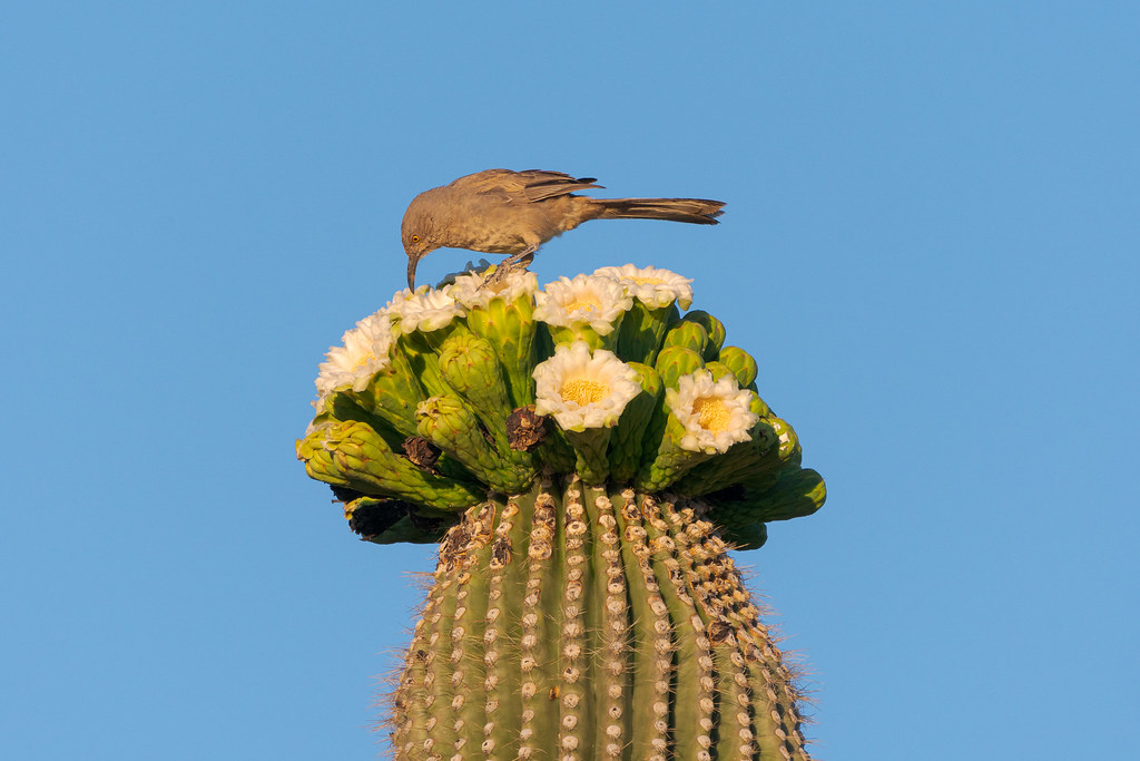 A curve-billed thrasher prepares to eat from one of many blossoms atop a saguaro arm on the Chuckwagon Trail in McDowell Sonoran Preserve in Scottsdale, Arizona in May 2019