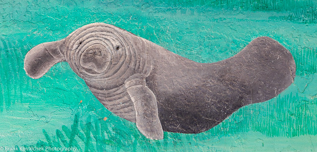 Manatees in Manatee Park, Fort Myers