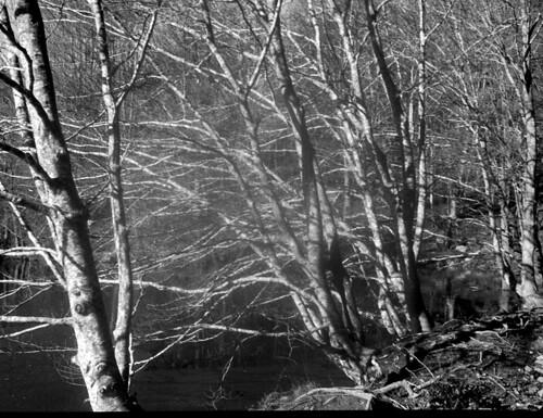 Arbres sobre el pantà / Reservoir beech