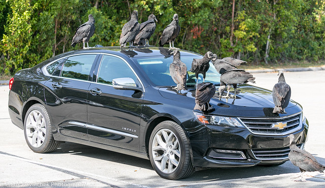 Turkey Vultures in the Royal Palm parking lot eating rubber parts of cars