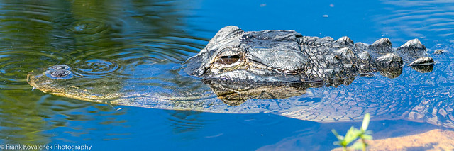 Alligator in the Shark Valley area of the Everglades National Park