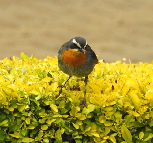 bird birds ave aves chat inthewild aberdare kenya ke africa africansafari closeup p900 coolpixp900 coolpix pansing nikoncoolpixp900 jennypansing whitebrow red gray caperobinchat