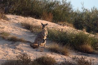 Western Grey Kangaroo with Joey