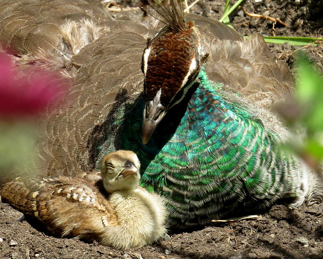 A tender moment - Baby peacock with mom (Afropavo, Pavo), Beacon Hill Park, British Columbia, Canada, June 2018