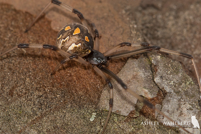 Brown widow, Latrodectus geometricus