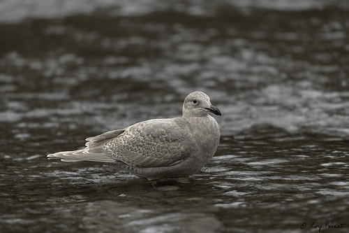 Glaucous-winged Gull | by Buff Spectacular
