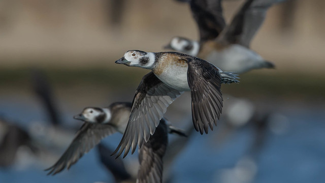 Long-tailed Duck (F)   3851
