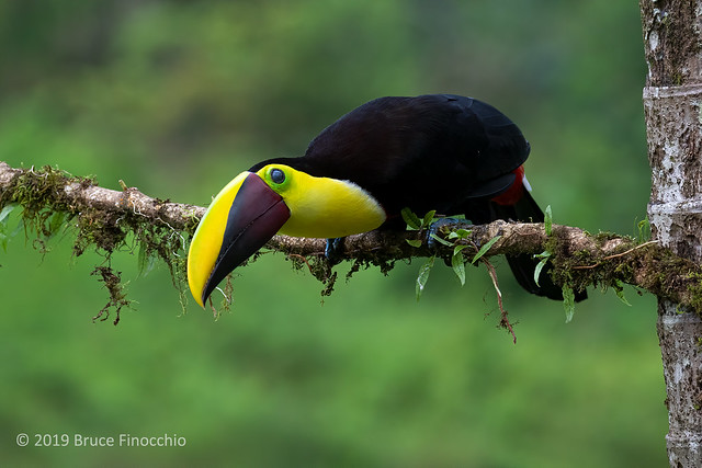 Yellow-throated Toucan Peers Over An Epiphyte Covered Branch