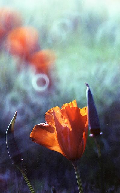 angel as poppy bloom