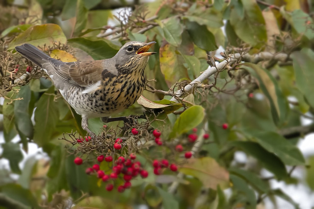 Fieldfare Whipsnade Dec 2019