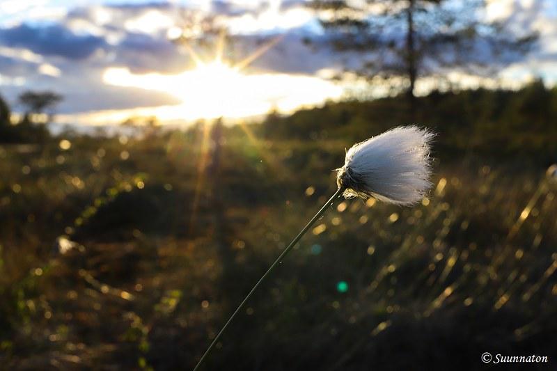 Torronsuon kansallispuisto, tupasvilla ja aurinko