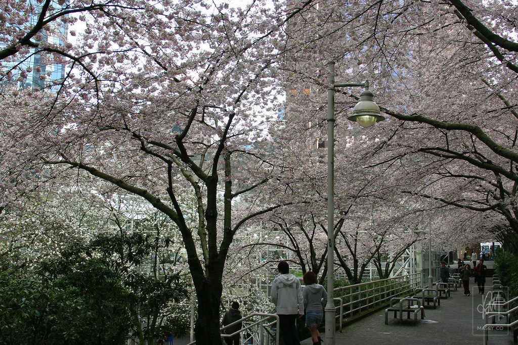 Blooming cherry blossoms in Vancouver