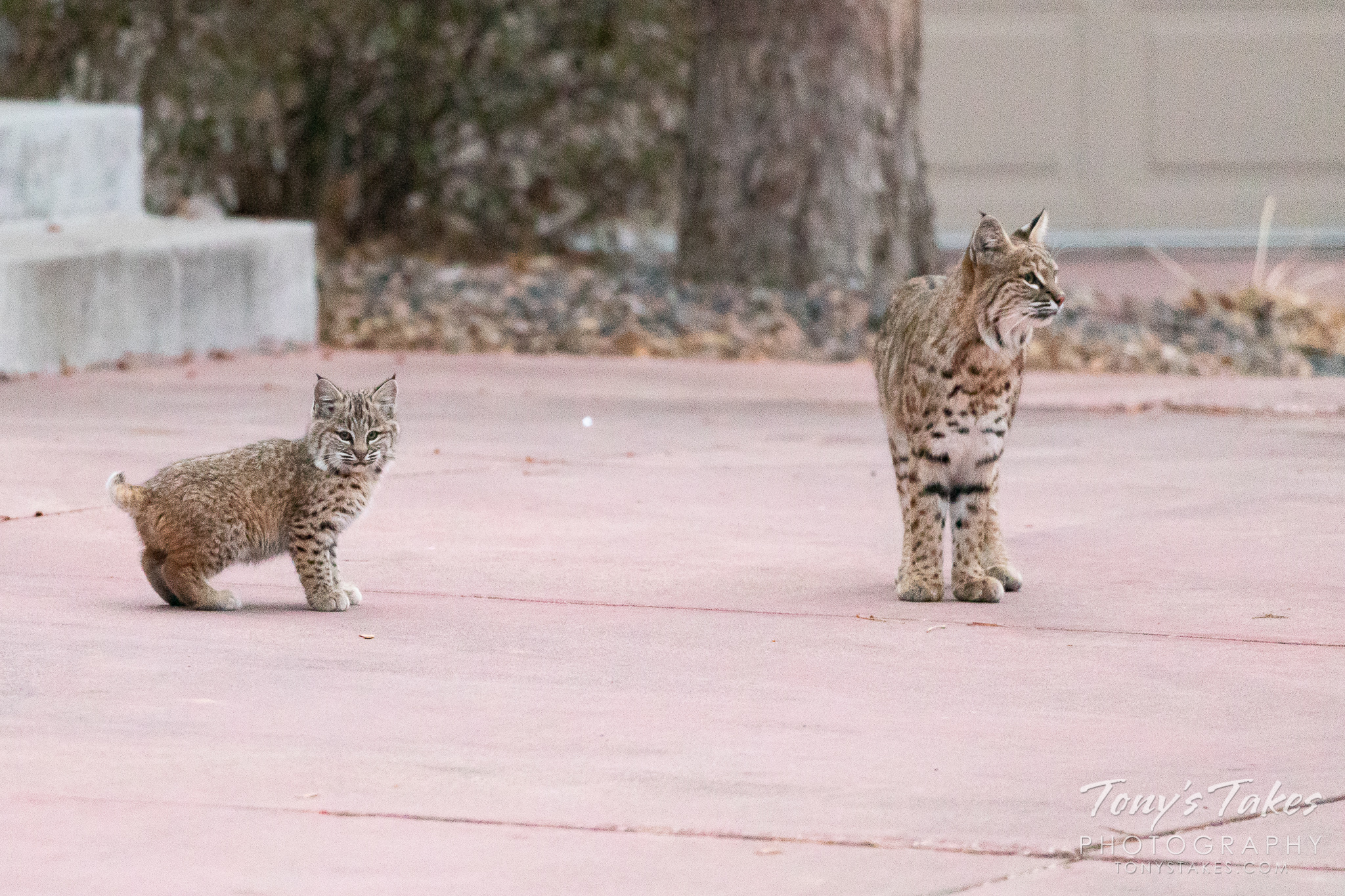 A female bobcat and one of her kittens keeping watch. (© Tony's Takes)