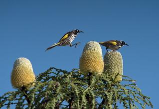 Cape Arid NP, New Holland Honeyeaters