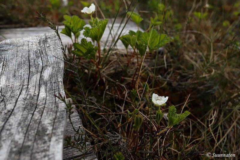 Torronsuon kansallispuisto, lakka