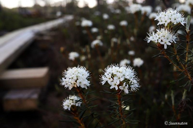 Torronsuon kansallispuisto, suopursu ja pitkokset