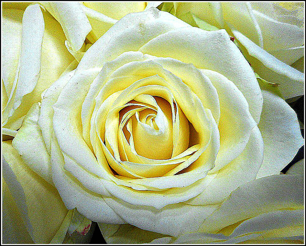 A Simple White Rose ..