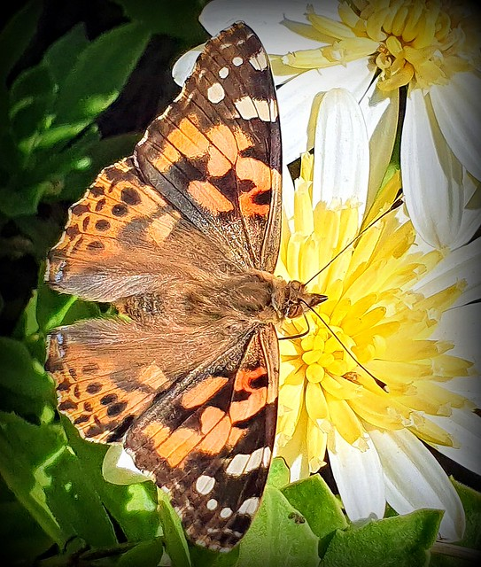 The painted lady of December