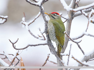 Scaly-bellied Woodpecker (Picus squamatus) | by gilgit2