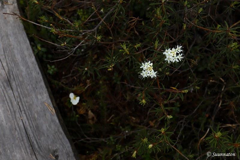 Torronsuon kansallispuisto, suopursut