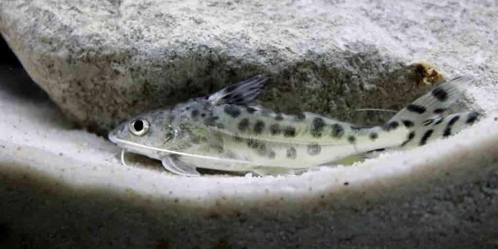 Une nouvelle espèce de poisson-chat a été découverte