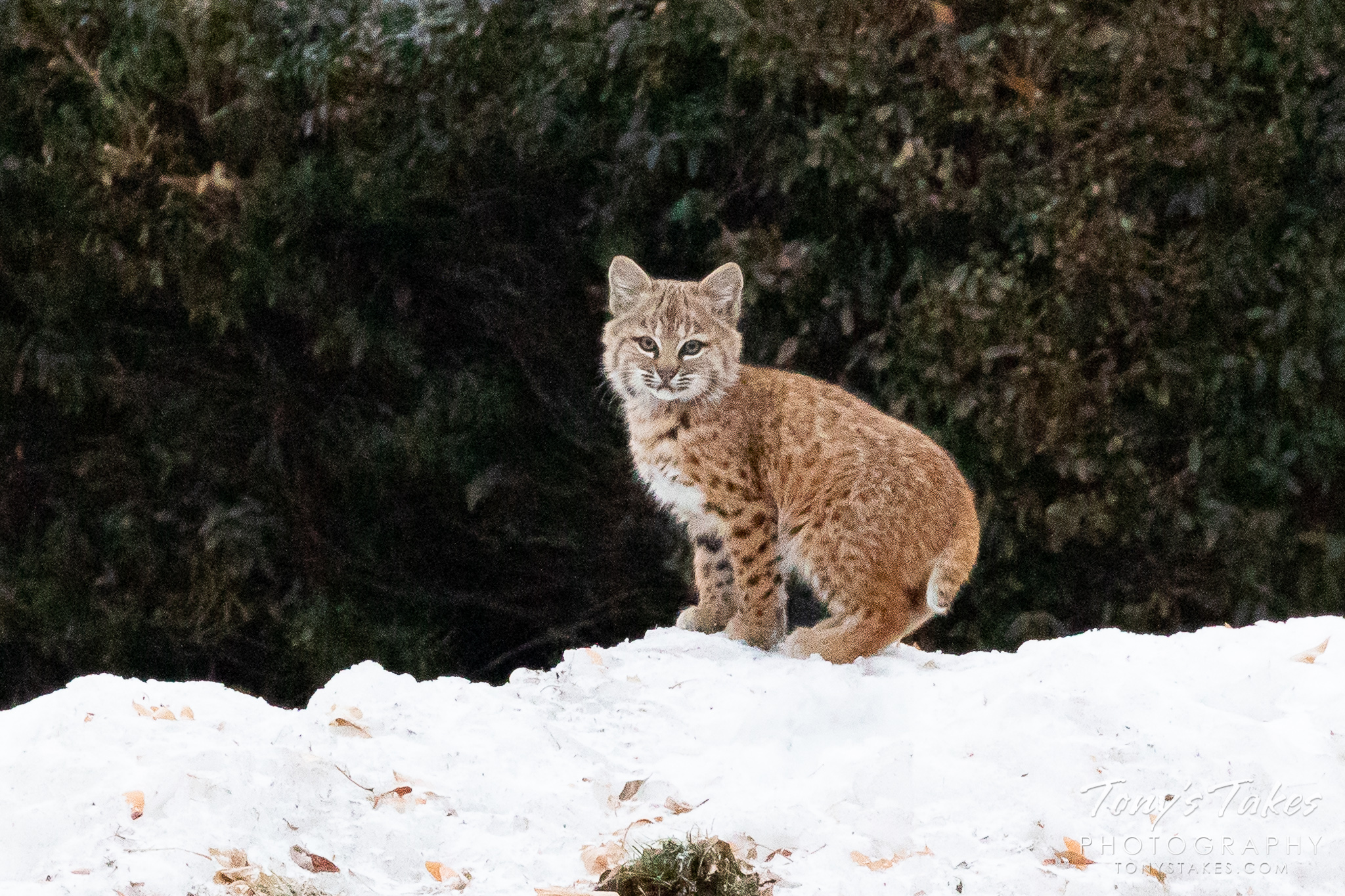 A bobcat kitten keeps watch from a pile of snow. (© Tony's Takes)