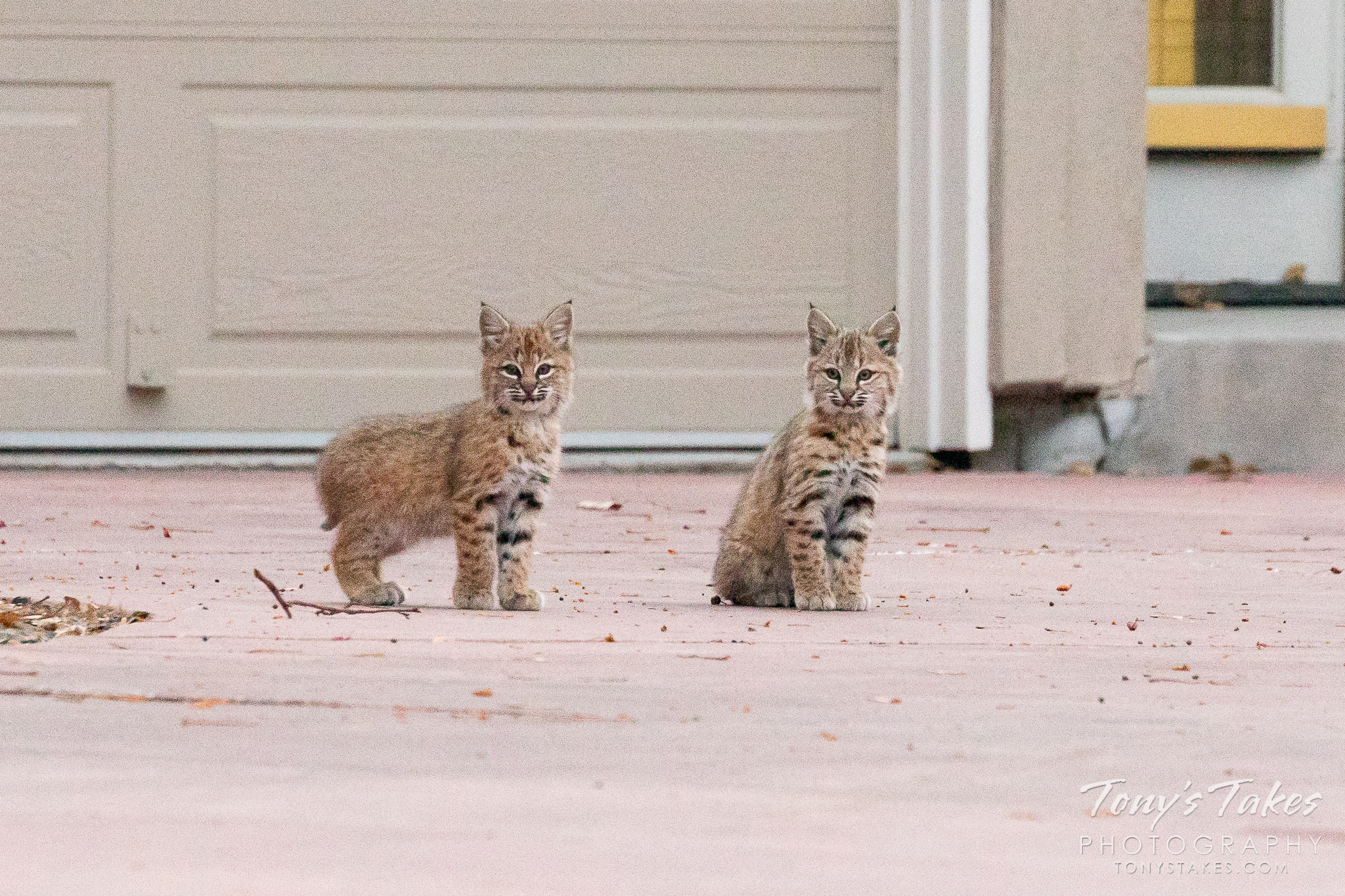 Bobcat kittens keep close watch from a driveway. (© Tony's Takes)