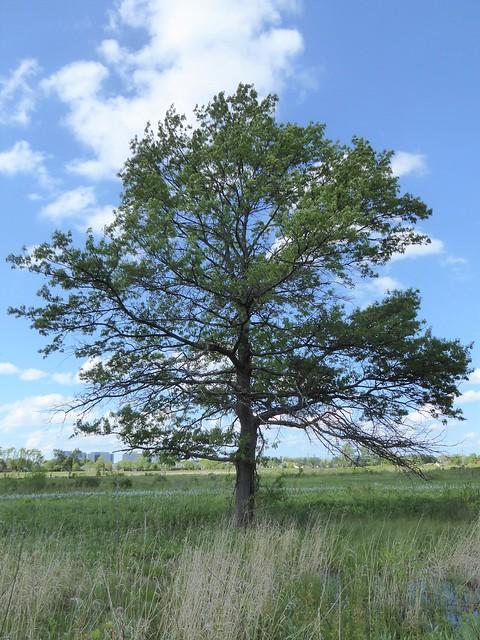 Westchester, IL, Wolf Road Prairie Forest Preserve, Tree