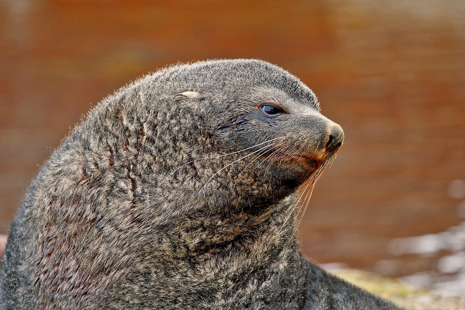 Fur Seal _J4X7753 copy