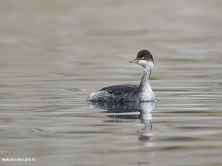 Black-necked Grebe (Podiceps nigricollis) | by gilgit2