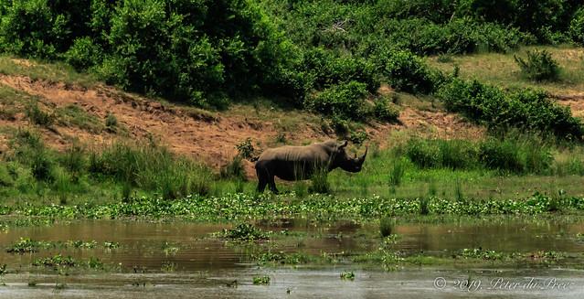 South-central black rhinoceros (Diceros bicornis minor)