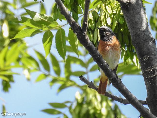 Colirrojo real Common Redstart (Phoenicurus phoenicurus)