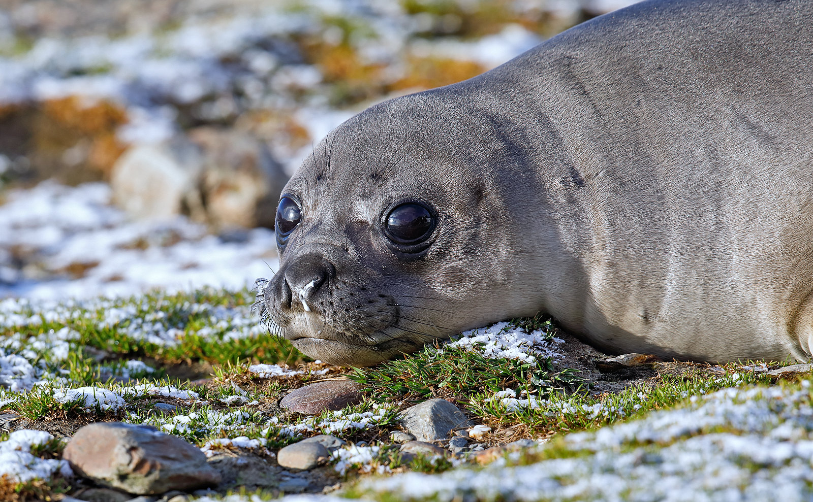 Southern Elephant Seal - pup