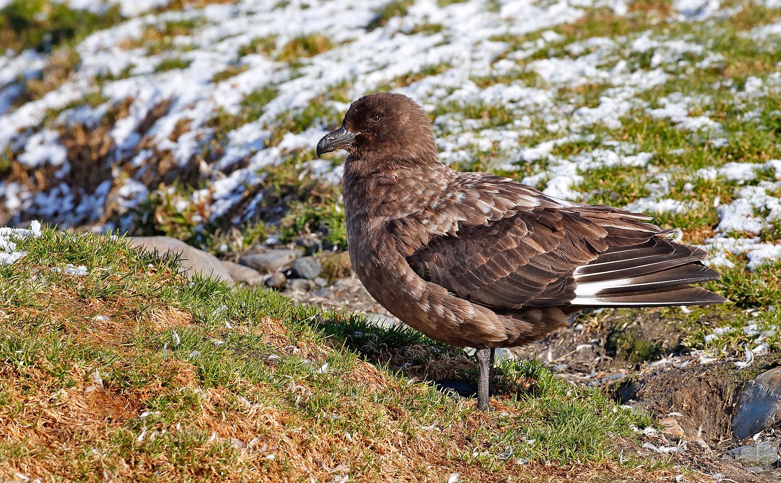 Antarctic (Brown) Skua