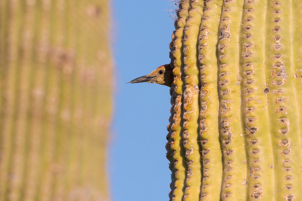 The tongue of a male Gila woodpecker sticks out of his beak as he looks out from his nest in a saguaro on the Latigo Trail in McDonnell Sonoran Preserve in Scottsdale, Arizona in May 2019