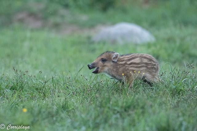 Jabalí wild boar (Sus scrofa)