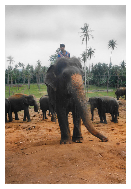 Pinnawela CL - Pinnawela Elephant Orphanage 05