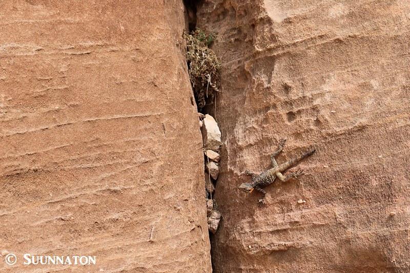 Wadi Rum, lisko kalliolla