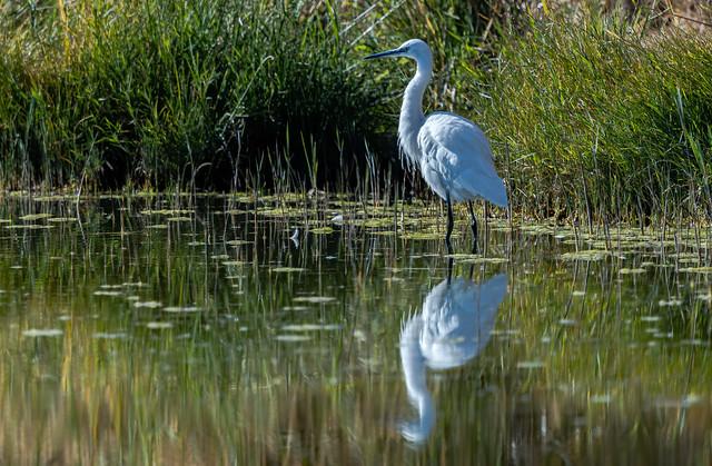 Wintering Resident Little Egret (Egretta garzetta), Azraq Wetland Reserve, Jordan