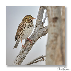 Savannah Sparrow at Clarence Cannon National Wildlife Refuge