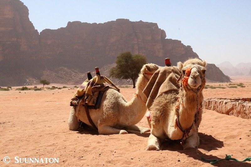 Wadi Rum, Lawrence Spring, kamelit