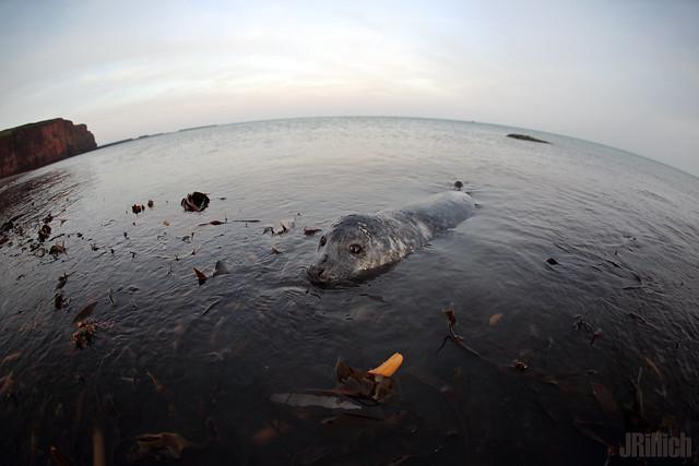 common harbor seal, Seehund, Phoca vitulina @ december in Helgoland 2019
